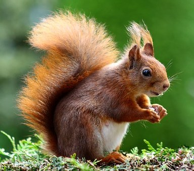 Red Squirrel Alert!